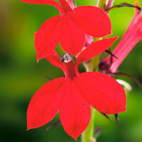 Rote Lobelie, im ca. 9 cm-Topf | #3