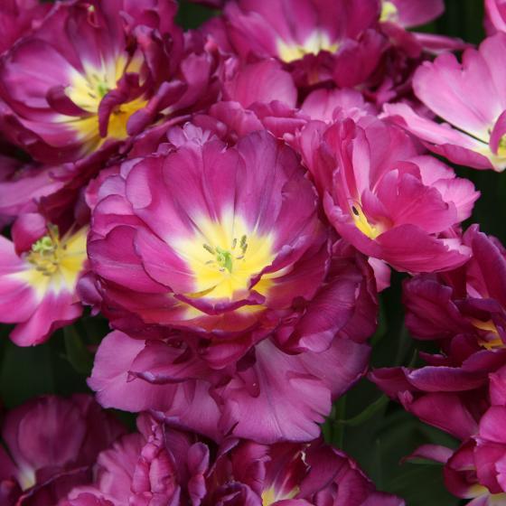 Tulpe Mariola | #3