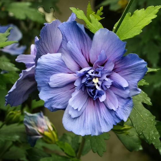 Gefüllter Garten-Hibiskus, blau | #3