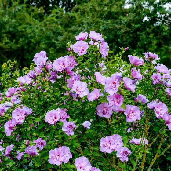 Gefüllter Garten-Hibiskus, rosa | #3