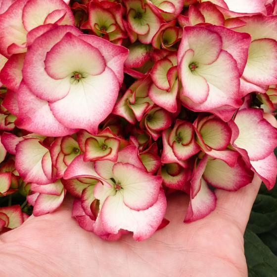Hortensie Kanmara, pink | #3