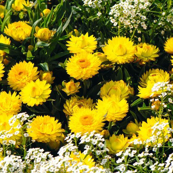 Gelbe Strohblume | #3