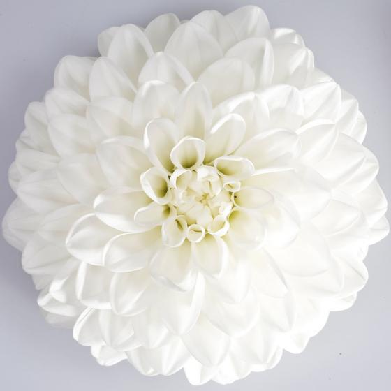 Weiße Sommer-Dahlie XL | #3