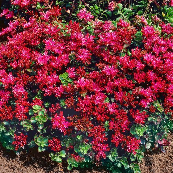 Teppich-Fetthenne, pink-rosa, im ca. 9 cm-Topf | #3