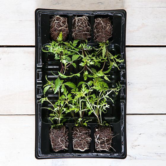 Mini-Jungpflanze Bidens Beedance Orange Splash | #3