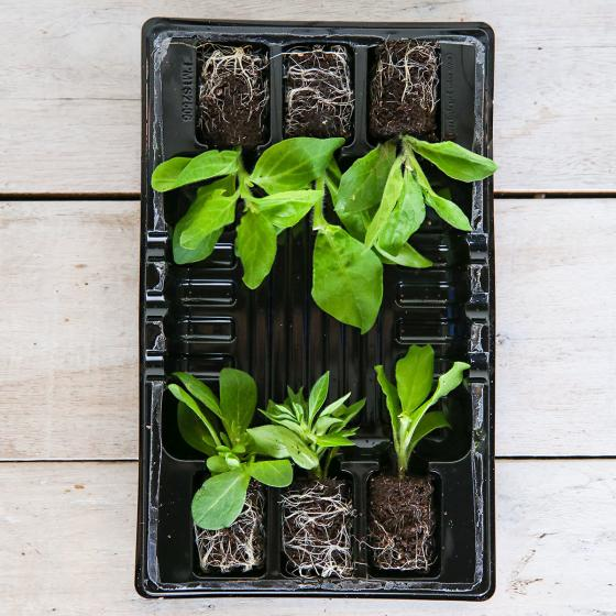 Mini-Jungpflanzen-Sortiment Surfinia®-Petunien | #3