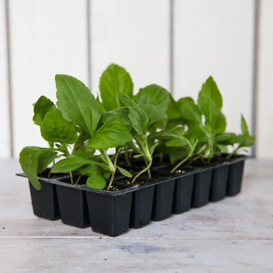 Mini-Jungpflanzen Astern Milady-Mischung | #3