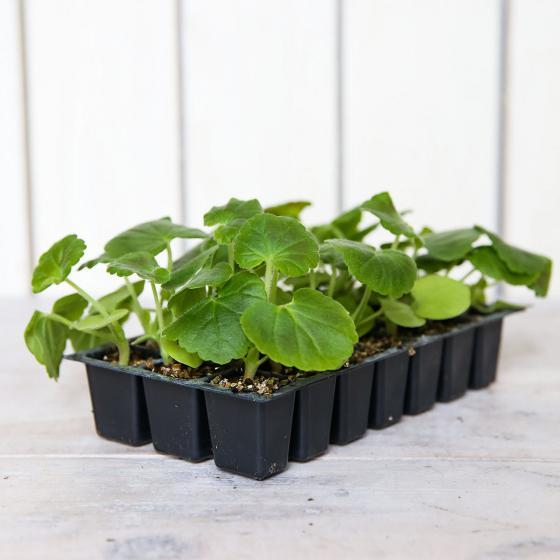 Mini-Jungpflanze Geranie Cabaret Rot | #3