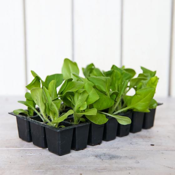 Mini-Jungpflanzen Petunien Duo Double F1-Mischung | #3
