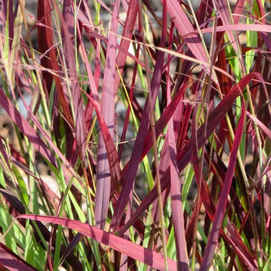 Rutenhirse Sangria, im ca. 9 cm-Topf | #3