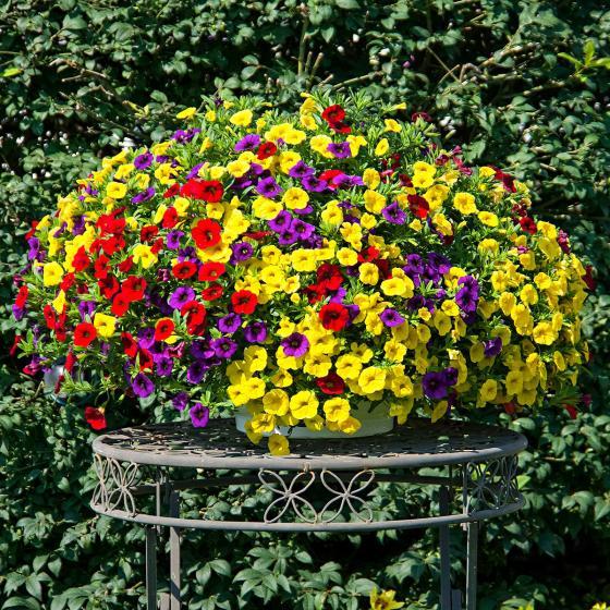 Zauberglöckchen Trixi® Bolero - Blumenampel, im ca. 27 cm-Ampeltopf | #3