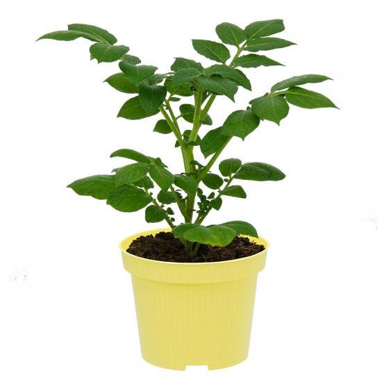 Kartoffelpflanze Sarpo Shona | #3