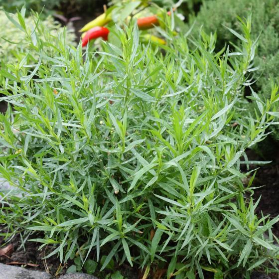 BIO Kräuterpflanze Französischer Estragon, im ca. 12 cm-Topf | #3
