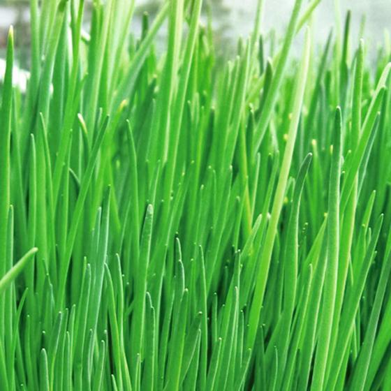 Kräuterpflanze Schnittlauch Staro, im ca. 12 cm-Topf   #3