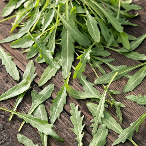 Kräuterpflanze Rauke Grazia, im ca. 12 cm-Topf | #3
