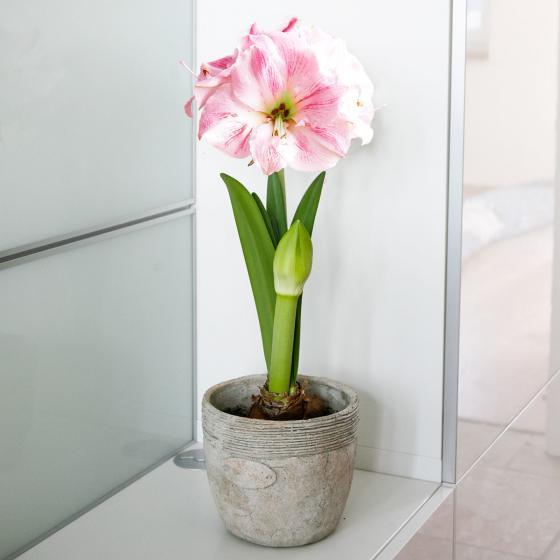 Amaryllis Cherry Bloss | #3