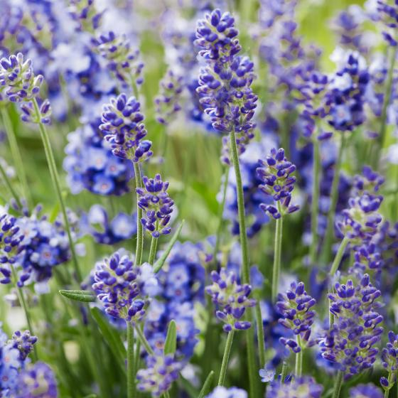 Lavendel Essence Purple, im ca. 19 cm-Topf | #3