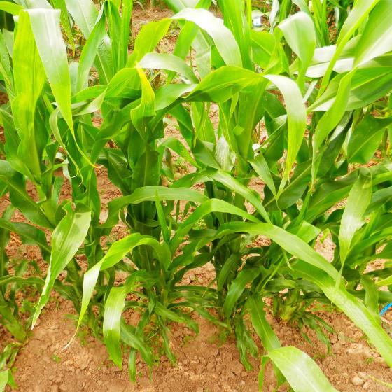 Maispflanze Schwarzer Popcorn-Mais   #3