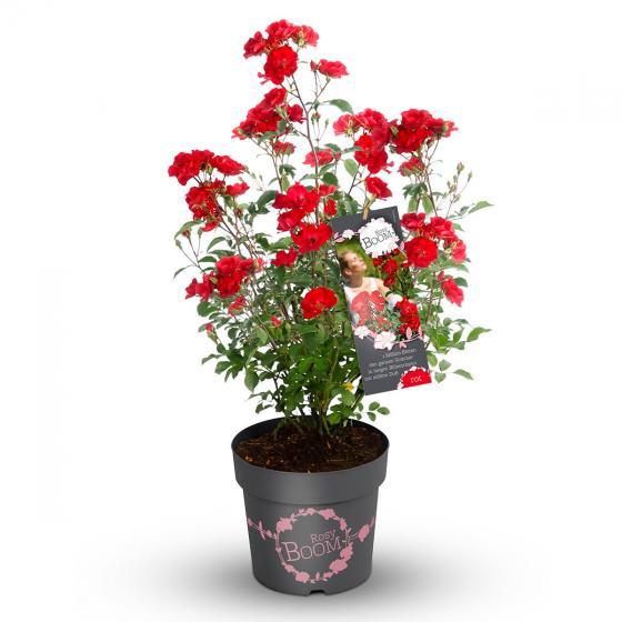 Phlox-Rose Rosy Boom®, rot, XL-Qualität | #3
