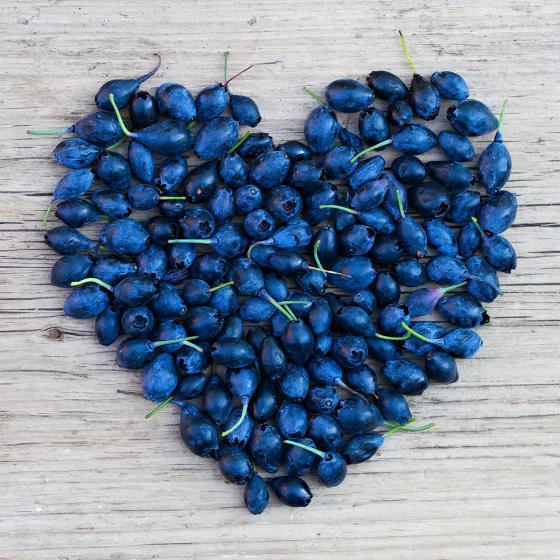 Vier-Monats Heidelbeere Lucky Berry® | #3