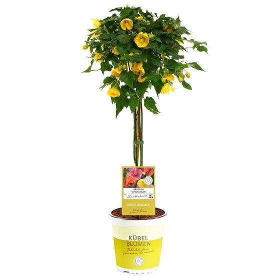Schönmalven-Stamm XL, gelb, ca. 19cm-Topf | #3