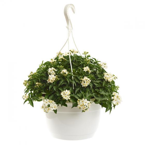 Sommer-Jasmin-Ampel, weiß, im ca. 27 cm-Ampeltopf | #3