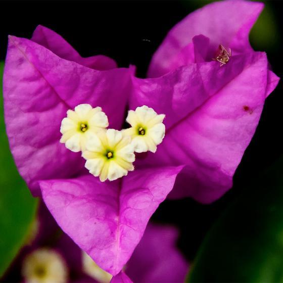 Wunderblumen-Stamm, im ca. 19 cm-Topf | #3