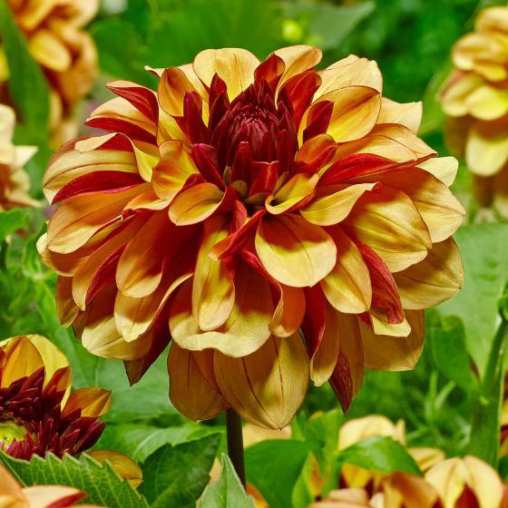 Blumenzwiebel-Sortiment Creme-Dahlien | #3