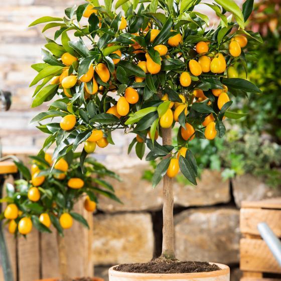 Calamondin-Orangen-Stamm, im ca. 18 cm-Topf | #3