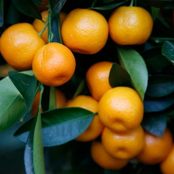 Calamondin-Orange XXL Stamm, im ca. 55 cm-Topf | #3