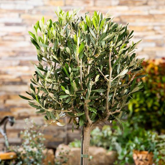 Oliven-Stamm, im ca. 18 cm-Topf | #3