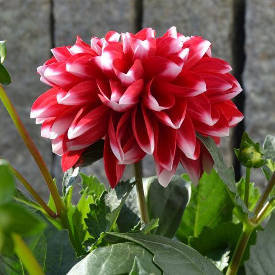 Rot-weiße Dahlie, im ca. 19 cm-Topf | #3