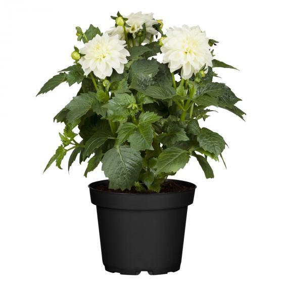 Weiße Dahlie, im ca. 19 cm-Topf | #3