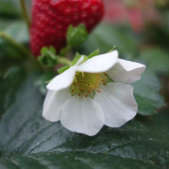 Erdbeer-Ampel, im ca. 27 cm-Ampeltopf | #3