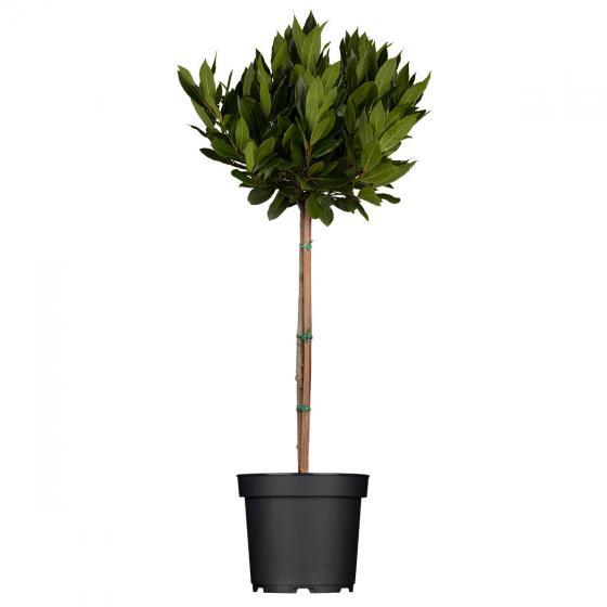 Echter Lorbeer-Baum | #3
