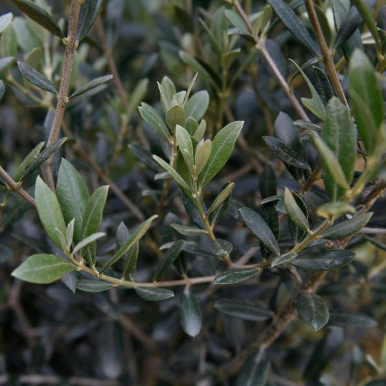 Oliven-Baum XXL, im ca. 55 cm-Topf | #3