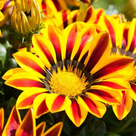 Sommerblumen-Sortiment Mittagsgold, 3 Stück | #3