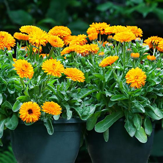 Ringelblumensamen Calexis Orange | #3