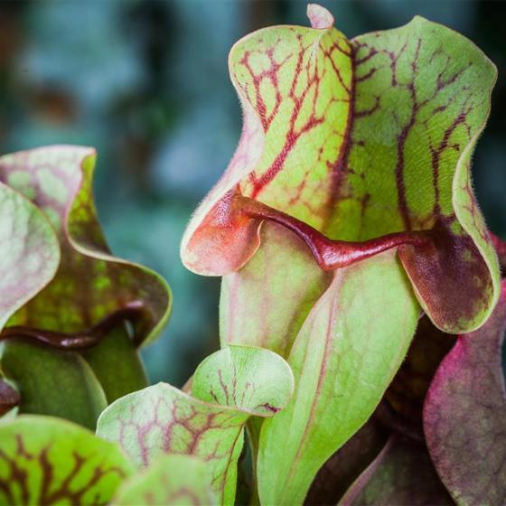 Schlauchpflanze, im ca. 9 cm-Topf | #3