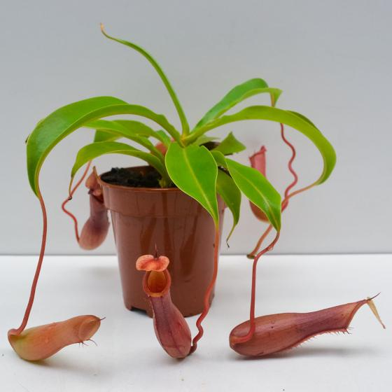 Kannenpflanze | #3