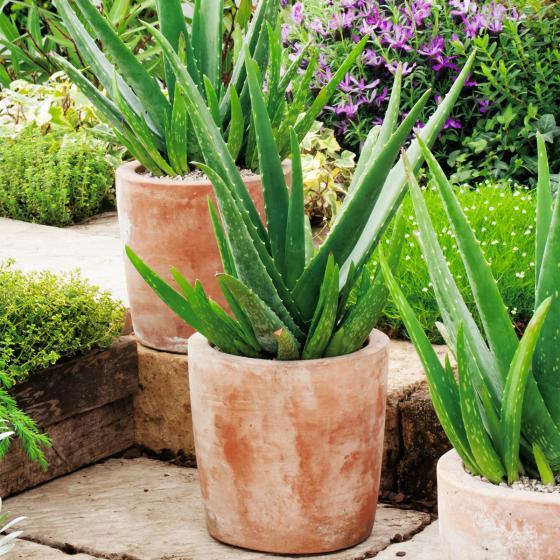 "BIO Kräuterpflanze ""Sweet"" Aloe Vera, im ca. 12 cm-Topf | #3"