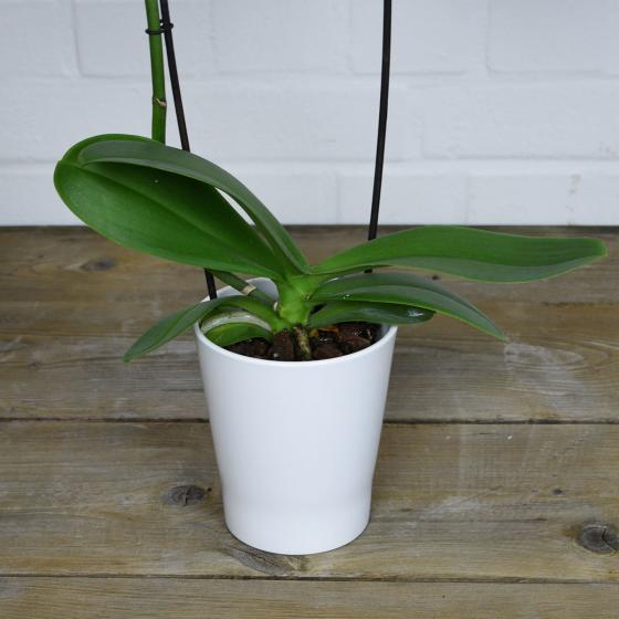 Schmetterlings-Orchidee Sunshine inklusive Über- und Wasserspeichertopf | #3