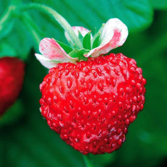 Wald-Erdbeerensamen Mignonette | #3