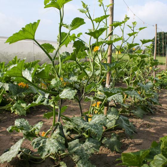 Kletter-Zucchinipflanze Alando, im ca. 11 cm-Topf | #3