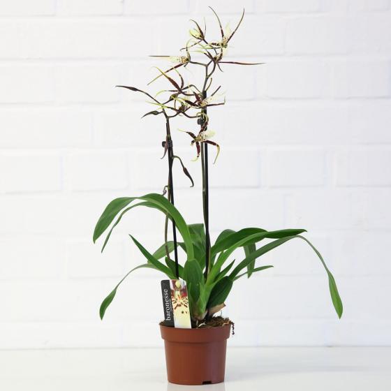 Spinnenorchidee Toscana | #3