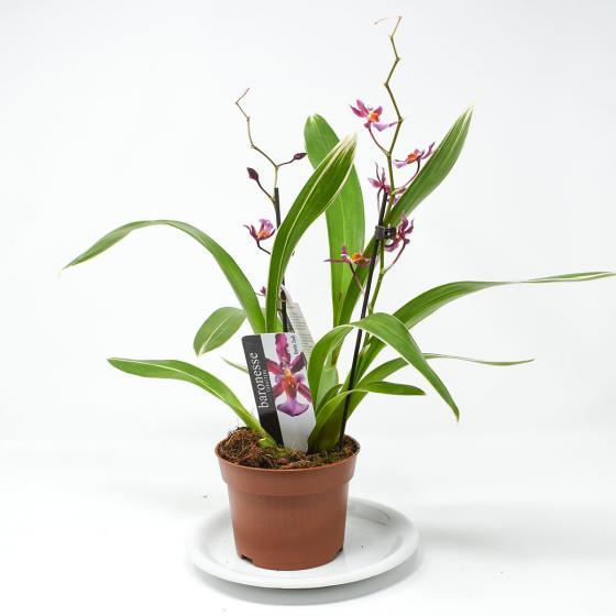 Orchidee Oncidium Katrin Zoch, gestreiftes Blatt | #3