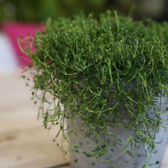 Irisches Moos, im ca. 12 cm-Topf | #3