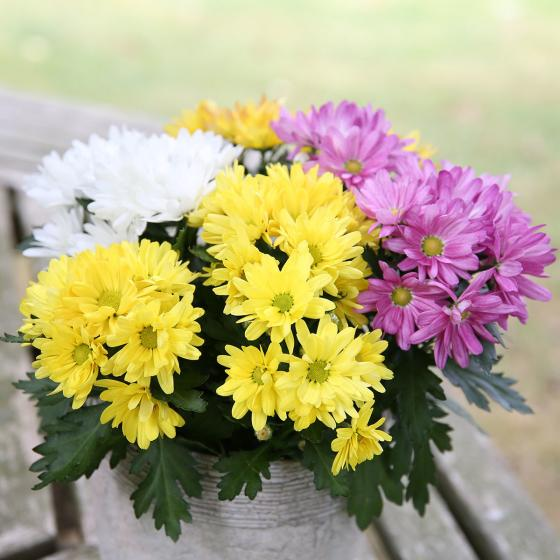 Chrysantheme Rock n Roll, 3-farbig   #3