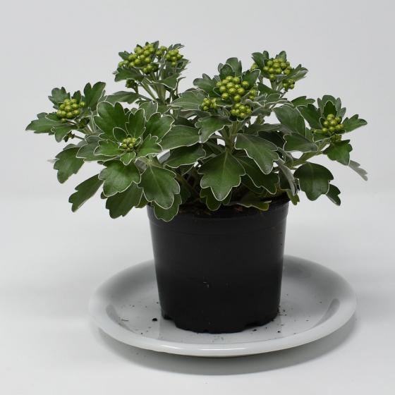 Silberrand-Chrysantheme, im ca. 12 cm-Topf | #3
