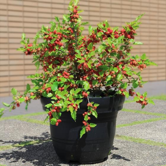 Maulbeerstrauch Mojo Berry, im ca. 13 cm-Topf | #3
